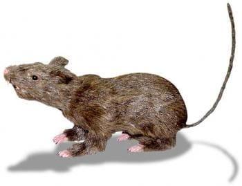 Eklige Ratte