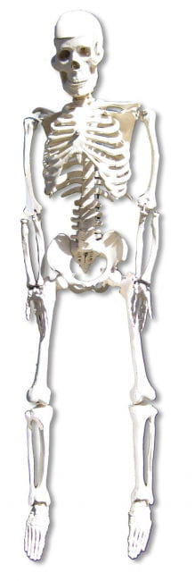 Anatomy skeleton 80 cm