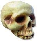Antique skull without the lower jaw